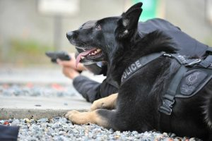 police service dog